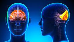 Female Occipital Lobe Brain Anatomy - blue concept Stock Illustration
