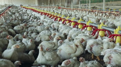 Intensive factory farming of chickens in broiler houses,South Africa - stock footage