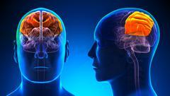 Male Parietal Lobe Brain Anatomy - blue concept Stock Illustration
