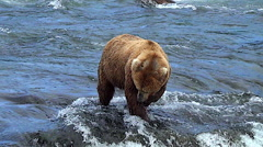 Wider View of Brown Bear Eating a Salmon at Top of Falls Stock Footage