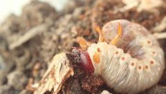 Bark beetle larva 5 Stock Footage