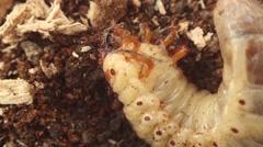 Bark beetle larva 8 Stock Footage