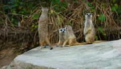 Family of Meerkats, Hanging out at the Zoo Stock Footage