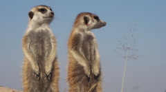 Group of meerkats standing up alert and looking for predators,Botswana Stock Footage