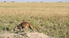 Meerkat digging to clear entrance to their burrow, Botswana - stock footage