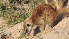 Meerkat digging to clear entrance to their burrow, Botswana Stock Footage