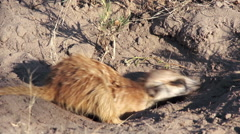 Meerkat digging for food, Botswana Stock Footage