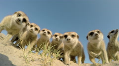 Stock Video Footage of 4K low angle view of curious meerkats investigating the camera,Botswana