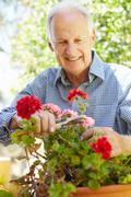 Elderly man pruning geraniums Stock Photos