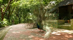 Peacock show tail fan and turn around, sunny shaded pathway Stock Footage