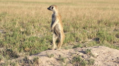 Stock Video Footage of Meerkat on sentry duty while other meerkats forage for food,Botswana