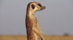 Meerkat on sentry duty while other meerkats forage for food,Botswana - stock footage