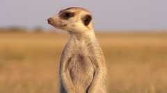 Meerkat on sentry duty while other meerkats forage for food,Botswana Stock Footage