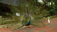 Male peafowl expanded tail fan, courtship ritual, quiver Stock Footage