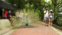 Extravagant peacock with wide colorful fan walk between tourists Stock Footage
