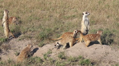 Meerkats on sentry duty while other meerkats clear entrance to burrow, Botswana Stock Footage