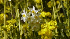 Hexagonal Star White Flower surrounded by Rape Blossoms Stock Footage