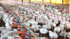Chickens farming - stock footage