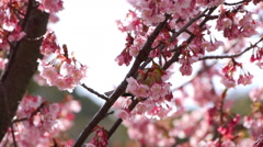 Nightingale Bird on Pink Cherry Blossom Tree in Japanese Garden -Ver 3- Stock Footage
