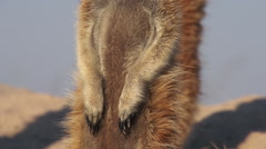 Close-up of meerkat non-retractable claws which are used for digging,Botswana Stock Footage