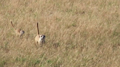 Group of meerkats foraging in the grass for food,Botswana Stock Footage