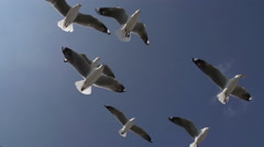 Seagulls flying in slow motion. Hartlaub's gull, Cape Town, South Africa Stock Footage