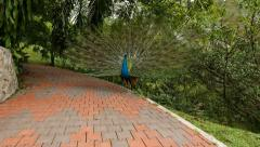 Male peafowl turn, showing expanded tail fan Stock Footage
