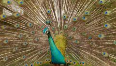 Close view Peacock head against brightly coloured tail fan, bird turn around Stock Footage