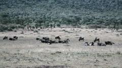 Wildebeests migration resting, Masai Mara savannah, safari Kenya Stock Footage