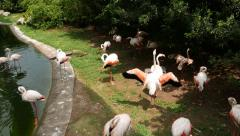 Pink flamingoes near small lake, sunny day, aviary park Stock Footage