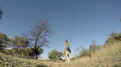 Spectacular footage of zebra walking over the camera, South Africa Stock Footage