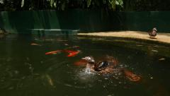 The duck bathes in a pond full of koi, close up crane shot Stock Footage