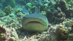 Whitetip reef shark close up - stock footage