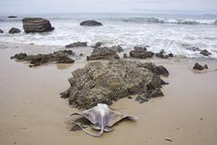 Sting ray on beach - stock photo