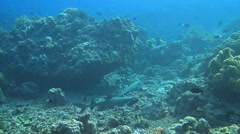 Four Whitetip reef sharks - stock footage