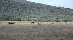 Wildebeests and Giant Eland grazing, Masai Mara savannah, safari Kenya Stock Footage