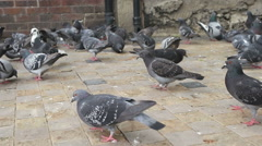 Closeup of group of pigeons  Stock Footage