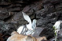 Swallow Tailed Gulls Mating Stock Photos