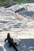 Great Blue Heron and Iguana - stock photo