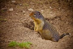 GOPHER PEERING FROM HOLE IN GROUND - stock photo