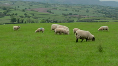 Sheep Grazing in Field #1 Stock Footage