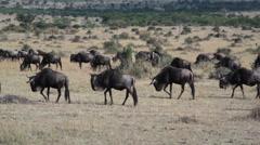 Wildebeest migration across savannah, Masai Mara, safari Kenya Stock Footage