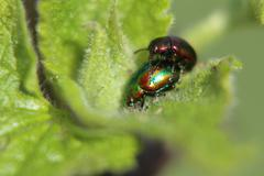Mating Dead-Nettle Leaf Beetle - stock photo