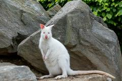 Closeup of a Red-necked Wallaby white albino female - stock photo