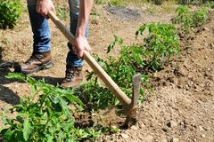 Work in a tomatoes cultivation Stock Photos
