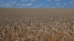 Wide Russian filed of wheat Stock Footage