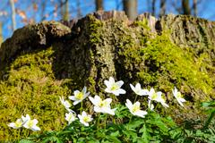 Anemones in front of a wood stump Stock Photos