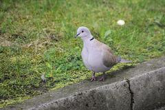 Collared Dove On The Curb Stock Photos