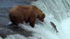 Bear at Top of Falls Waiting for Salmon Has Six Fish Jump Nearby Stock Footage