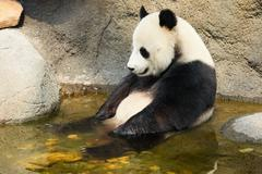 Giant panda sitting in water - stock photo
